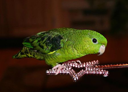Lineolated Parakeet (Barred Parakeet): Bird Species Profile