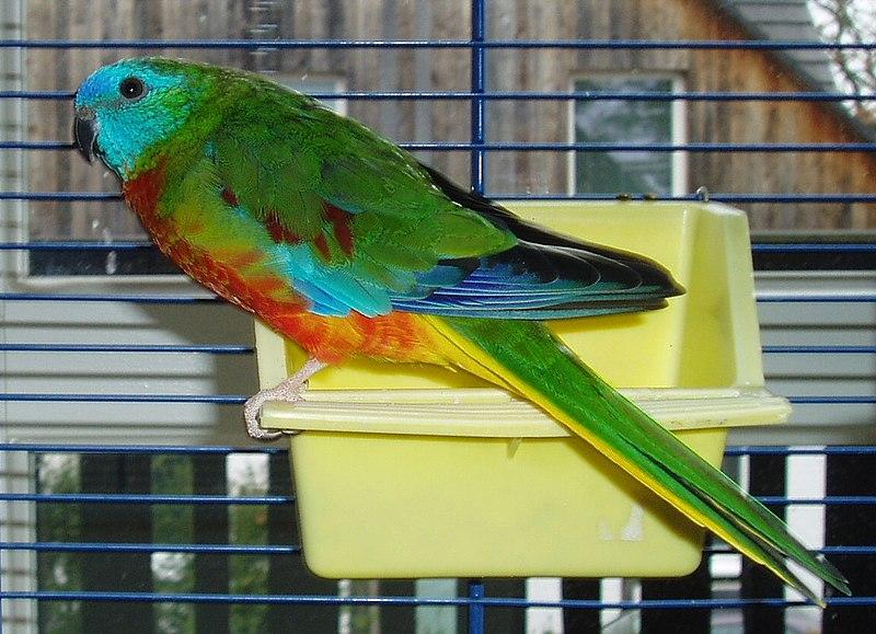 Leading Mild Household Pet Bird Species